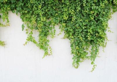 Piante rampicanti piante decorative rampicanti bologna for Piante decorative